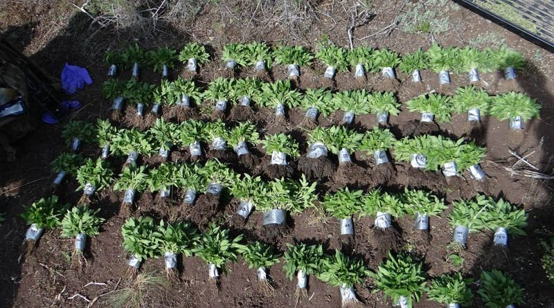Wheeler Bust Image Small Plants