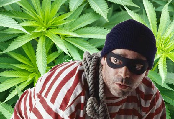 cannabis thief