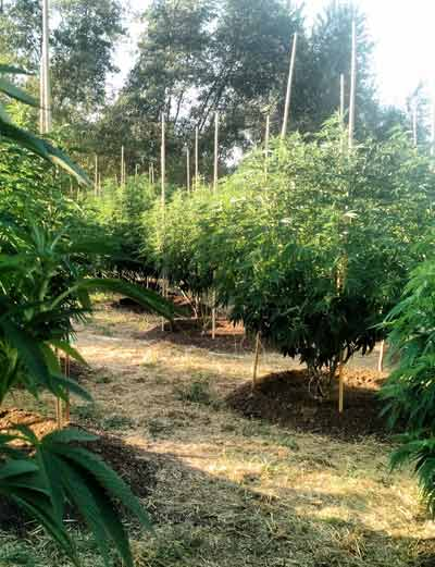 certified kind, organic, cultivation, cannabis