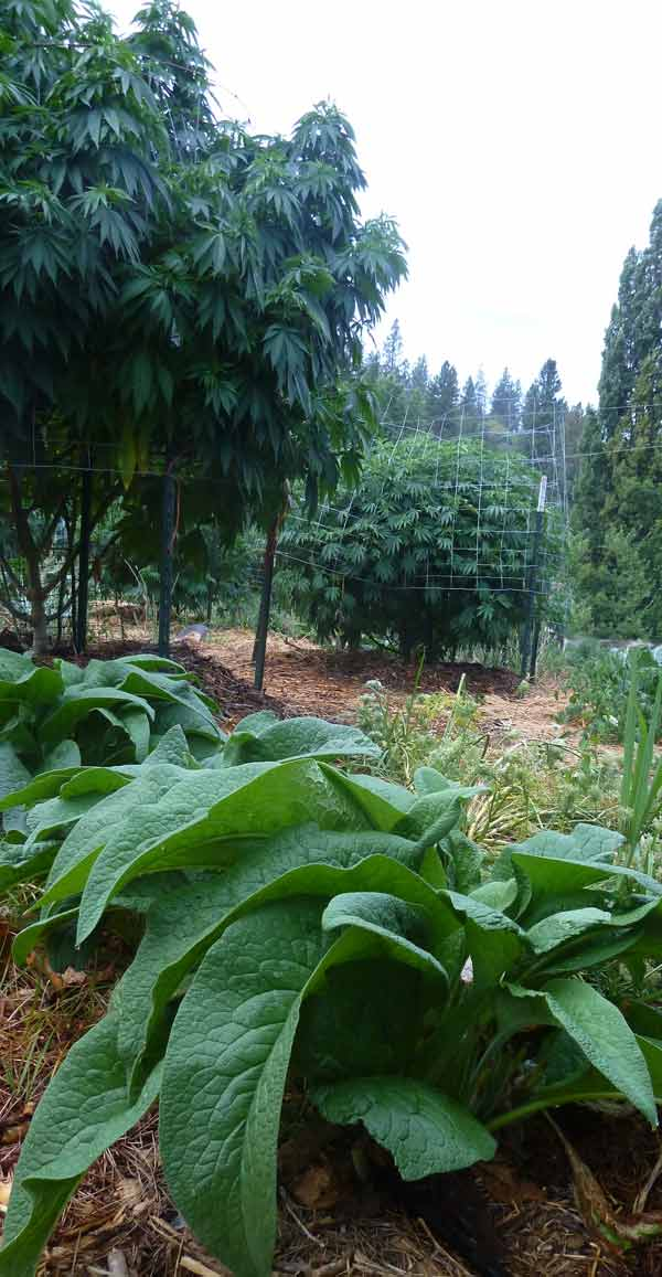 Using Comfrey (foreground) and other beneficial plantings will encourage regeneration. Image Green Source Gardens
