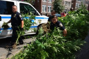 New York marijuana, brooklyn ganja, 8-foot plants, new york, cannabis, marijuana
