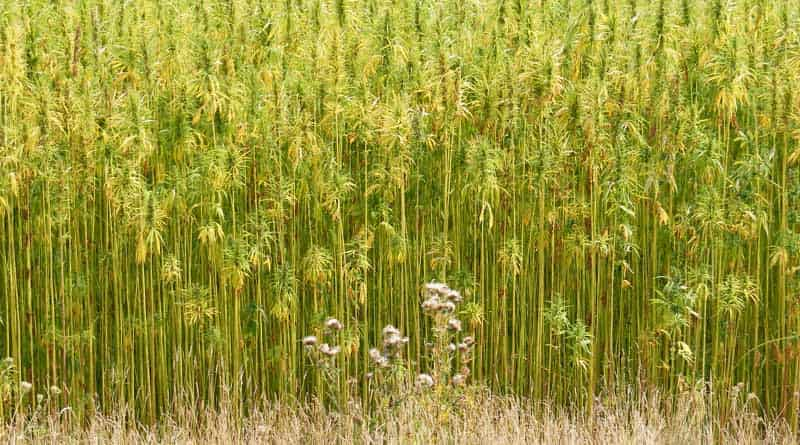 Hemp, Australia, South Australia, Industrial, Start