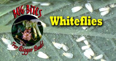 Bug Bites,Natures Control,Whiteflies,Control,Organic,Predators,Whitefly