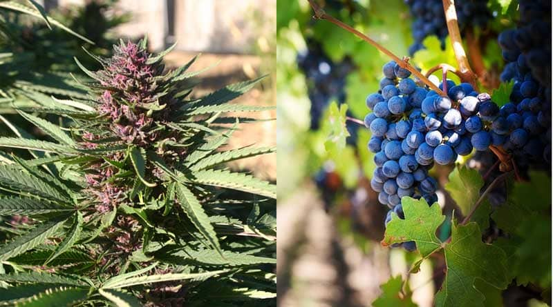 Winery,Oregon,Cannabis,Marijuana,Yamhill,McMinnville,Momtazi.Richard Wagner,EFU,lawsuit