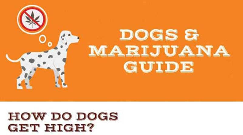 canine cannabis,dogs and weed,dogs,marijuana,dose