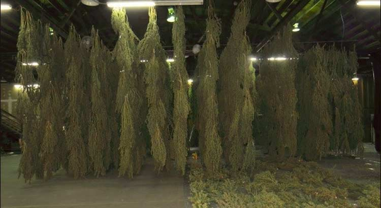 Portland Cannabis Bust, 3000 pounds, OLCC, OMMP, Illegal processing