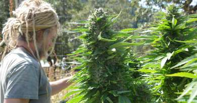 Trying A New Cannabis Strain? What Should You Know