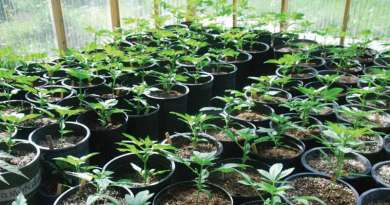 breeders corner, marijuana breeding, cannabis seeds, Reames