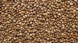 certified hemp seed, hemp seed supply, hemp seed DEA, Colorado hemp