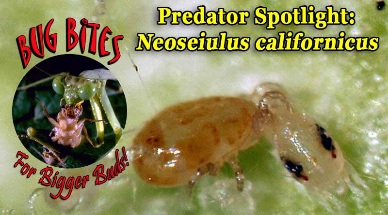 Bug Bites for Bigger Buds: Predator Neoseiulus californicus