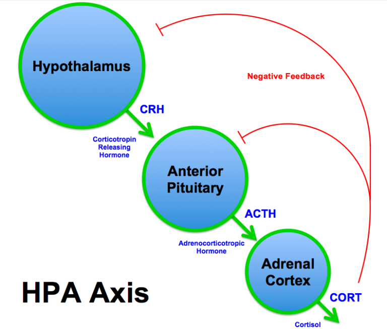 HPA, hypothalamic-pituitary-adrenal) axis.