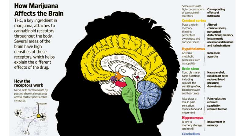 Marijuana affects on Brain, cannabis, brain, infographic, THC