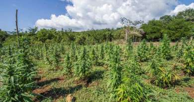Hemp Energy: Is Industrial Hemp The Ultimate Biofuel Crop?