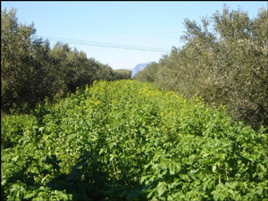 Braco Mustard growing under olive trees